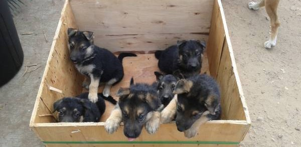 GSD puppies in box from CL